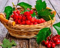 Моя любимая ягода— калина и ее лечебные свойства