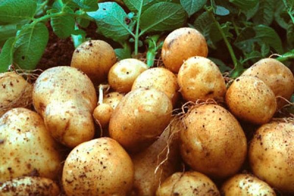 Картошка— в чем ее польза и кому нельзя ее есть?