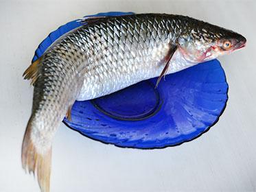 podgotovka-pelengasa