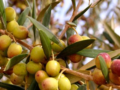 derevo-olivki