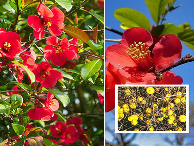 цвет и плоды айвы