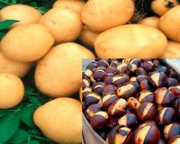 Следующие три рецепта  для диетического питания: пюре из каштанов, картофельный «рис», кнедлики