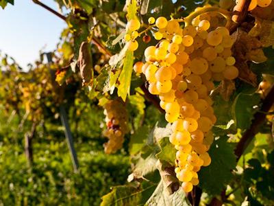 vinograd-na-vetke